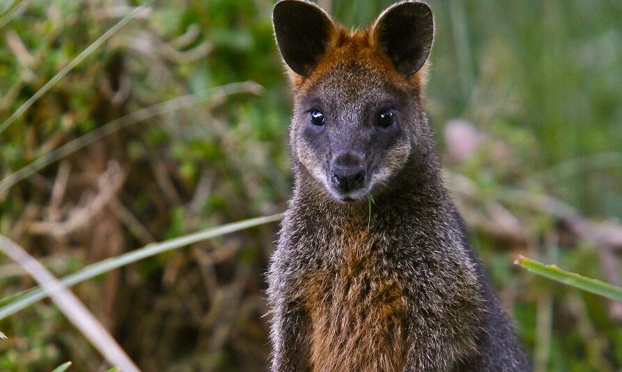 Wallaby on Phillip Island