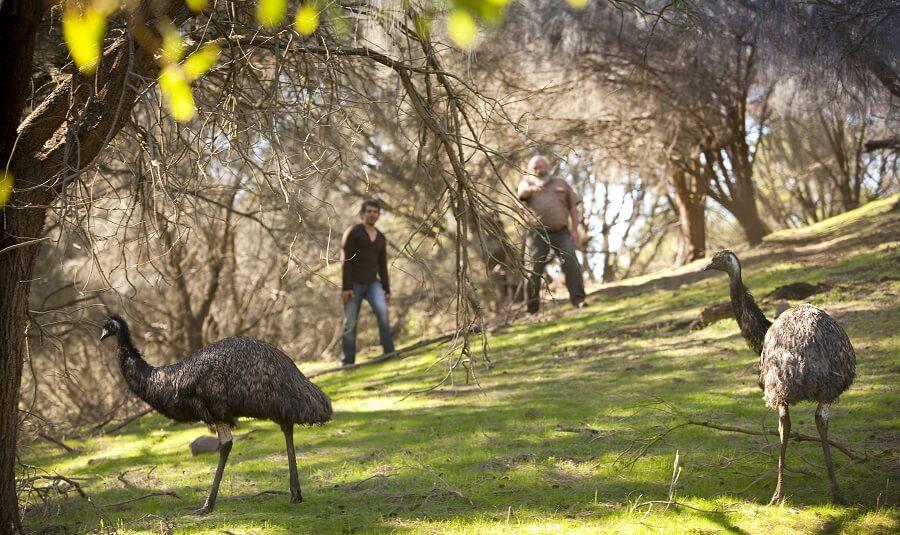 Emus at Warrnambool