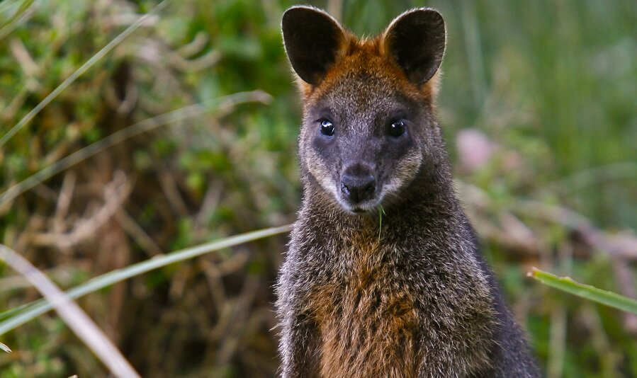 Wild Wallaby in the Dandenong Ranges