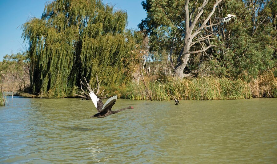 Swan on the Murray River