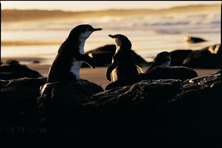 Penguins in Phillip Island