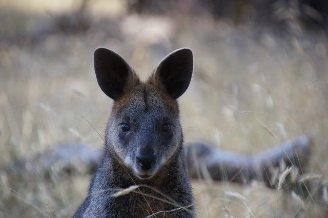 Kangaroo Island Wallaby
