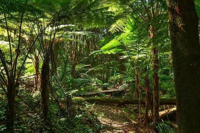 Daintree Rainforest with Ferns