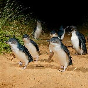 1 DAY PHILLIP ISLAND PENGUINS TOUR