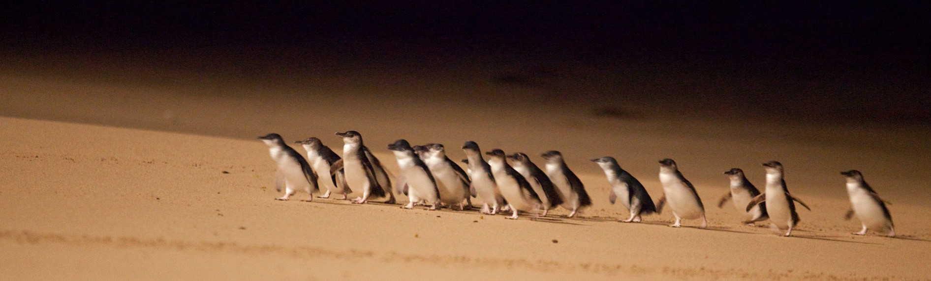 What eats the little penguin?